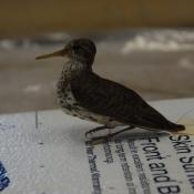00.26.0186 (Sandpiper, spotted) image