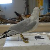 Gull, ring-billed image