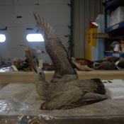 Gull, herring image
