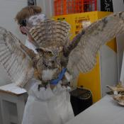 00.26.127.0001 (Owl, great horned) image