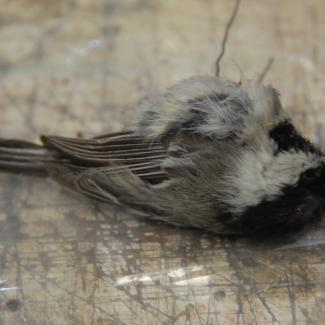 Chickadee, black-capped image