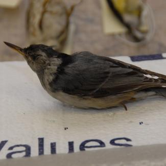 Nuthatch, white-breasted image