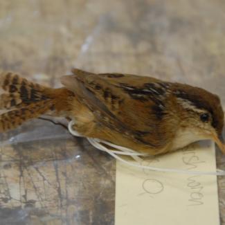 Wren, long-billed marsh image