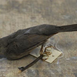 Catbird image