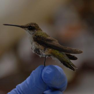 Hummingbird, ruby-throated image