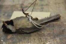 Chickadee, black-capped image