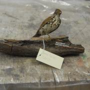 Thrush, wood image